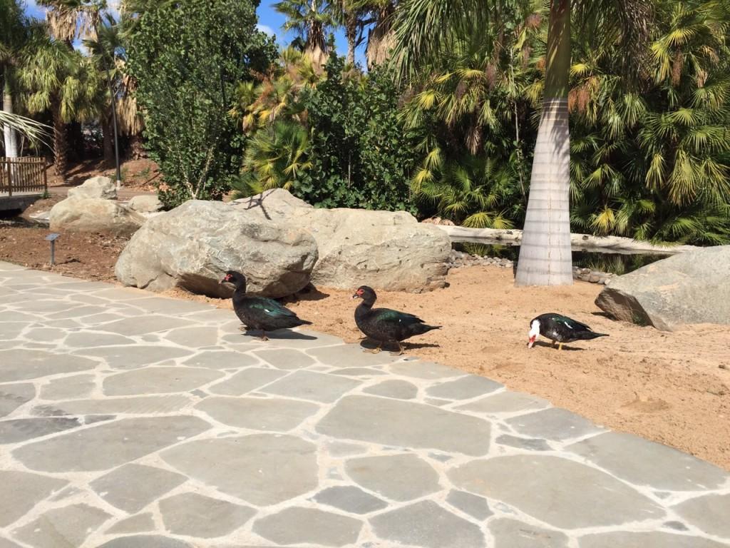 FOTO 7.- Patos laguneros en el Palmetum